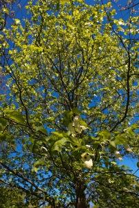 Näsduksträdet. Foto: Linda Dahlström