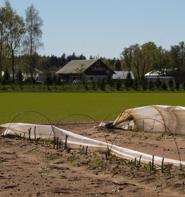 Sparrisodling, Lilla Bjers, Västerhejde. Foto: Linda Dahlström