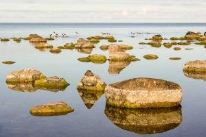 Vindstilla hav med gäss på besök. Foto: Linda Dahlström