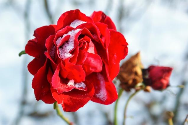 Ros, Botaniska trädgården
